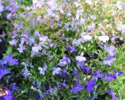 flores-azules10011